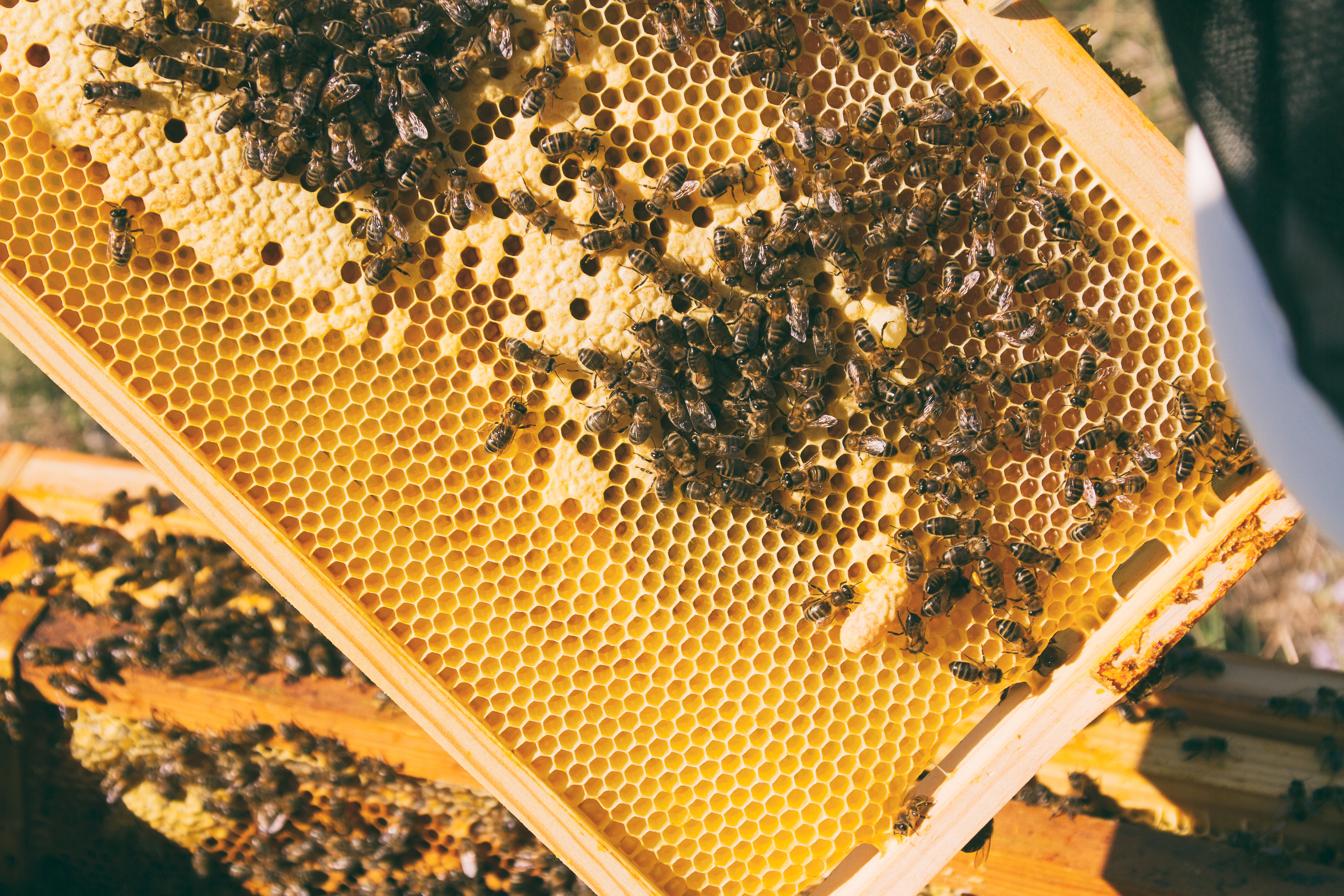 Where can I buy Dadant Beekeeping Supplies