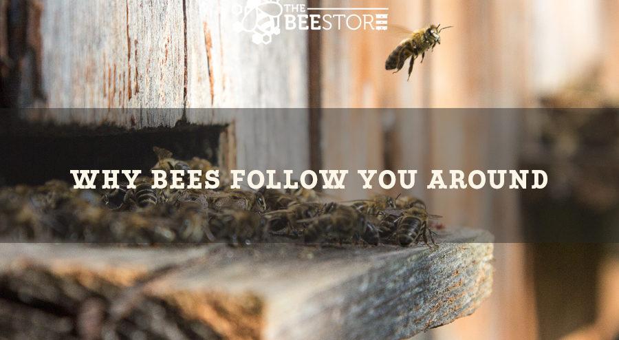 Reason Bees follow humans.